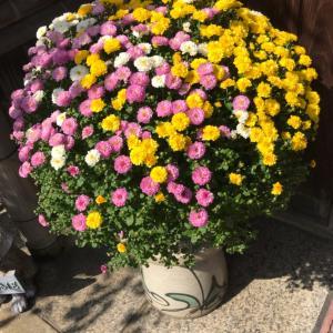 玄関先の菊の花たち