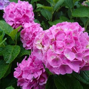 紫陽花を見に