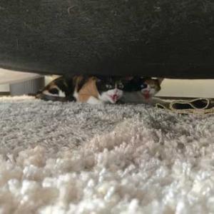 【キュン】「人間ニャンて信用するもんか!」病院から連れ帰った猫さまの表情が完全にお怒りモード
