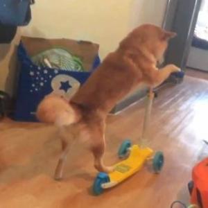【いぬ】その辺ちょっと転がしてきていい?キックボード練習中の柴犬、さて初の路上はどうなった?