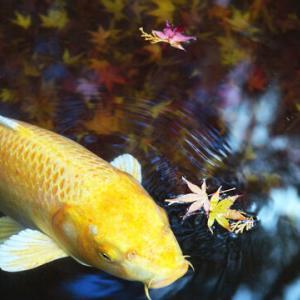 【衝撃】その魚、あまりにも人面魚。人の顔そっくりの模様を持つ鯉の姿が話題に