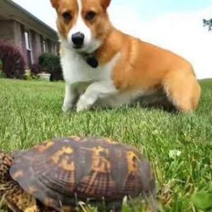 【いぬ】こいつ、動くぞ!岩かと思ったら亀だったことに驚きを隠せないコーギー犬