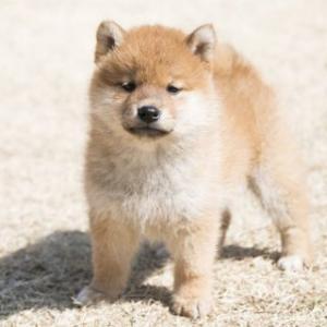 【いぬ】絶対帰らないマンになってしまった犬が可愛すぎると話題に!完全に脱力モードになっている!