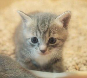 """【猫】「お背中こってますニャ~(フミフミ)」 肉球マッサージをしてくれる""""にゃんこ整体師""""に癒やされる~♡"""
