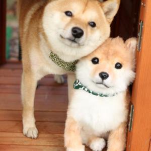 【かわいい】物的証拠が散乱しているのに、鉄の意思で黙秘権をつらぬく犬