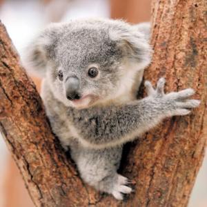 【悲報】動物園のコアラさん、体重を計測されてしまう…♡