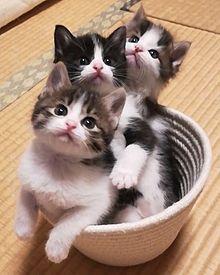 【ねこ】「愛猫がでかくなったもんだから…」大きめサイズのアイテムをいろいろ買ってみた♡