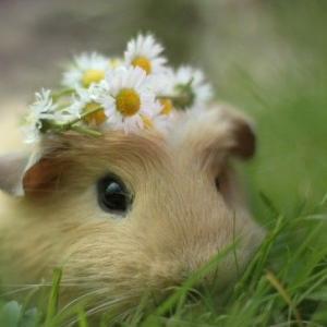 【動物】モルモットは寂しがり屋。スイスの「モルモット単独飼育禁止令」に倣って専門家が正しい飼育法をアドバイス
