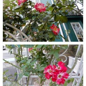 フォースオブジュライ再び。その1、赤と白のシマシマが可愛いフォースオブジュライに新しい房咲きの蕾がたくさんできました。第二弾来ます。