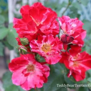 フォースオブジュライ再び。その2、第二弾は咲き方が変化。小さめの花が房咲きになってあちこちに伸びて咲きました。雨の中でもいつまでも咲き続けてくれてます。