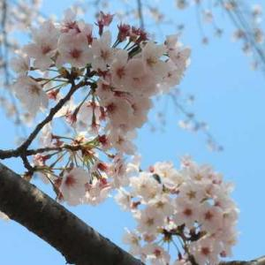 桜の季節はあっという間に過ぎていきました。桜まつりが中止になった栄緑道で静かに桜が満開でした。(おまけ、昨年の河津桜。)