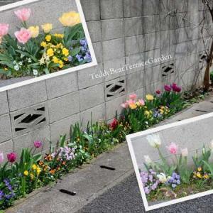 チューリップの小路2021その1…今年のビオラは華やかで大きいです。最初に咲いたのは色とりどりのヒヤシンスでした。