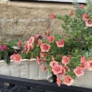 真夏のテディベアテラスガーデン。初夏に植えた寄せ植えが鮮やかに花開いています。