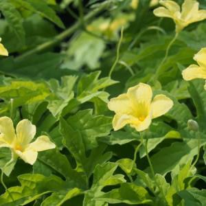 身近な花(つる植物)