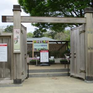 身近な花(伝統の桜草展)
