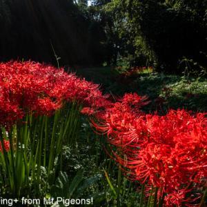 episoide1899…Spider Lily。
