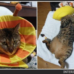 お猫さまの治療が終わる