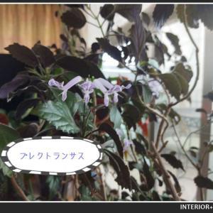 プレクトランサスという名の花