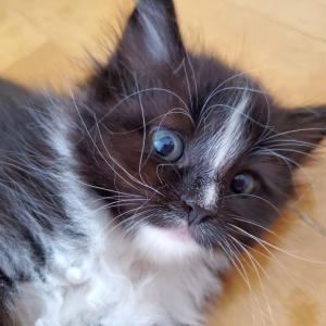 サイベリアン子猫達♡