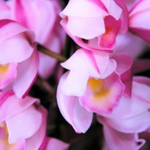 シンビジウム❤ピンク色の可愛いお花です☺