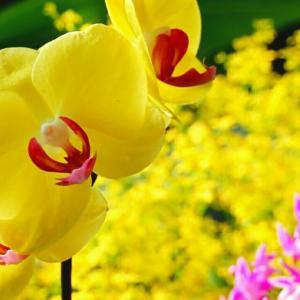 黄色い胡蝶蘭。花のある暮らし!
