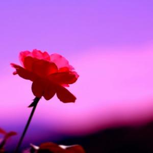 薔薇の花鮮やかで素敵です!