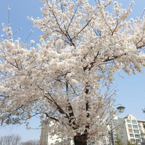 【時事ネタ】 コロナ家ごもり中ですが、 韓国の桜とレンギョウのコラボを見てきました