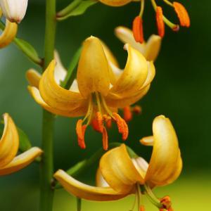 百合が原公園のマンタゴンリリーが夏を告げる。下向きに咲く小さなユリ・マンタゴン