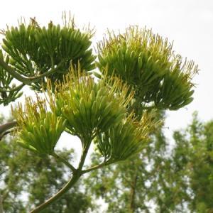 100年に一度咲く花・リュウゼツランとはどんな花? 高1時代に植えた株が87歳で開花