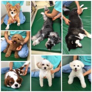 新入犬のトイプードルの【ななちゃん】 犬のしつけ教室@アロハドギー