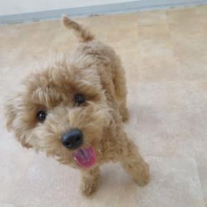 幼稚園体験にきてくれたトイプードルの【りくくん】  犬のしつけ教室@アロハドギー