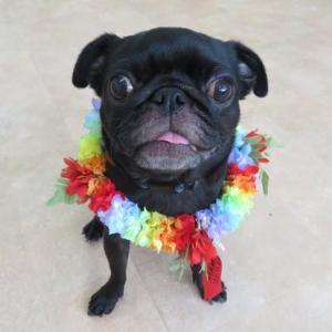 新入犬のパグの【花ちゃん&梅ちゃん】 犬のしつけ教室@アロハドギー