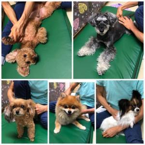 新入犬のトイプードルの【チノちゃん】 犬のしつけ教室@アロハドギー
