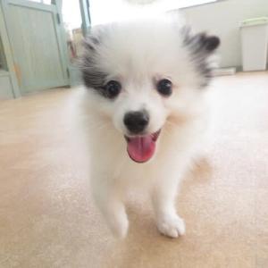 幼稚園体験にきてくれたポメラニアンの【ぱんらくん】 犬のしつけ教室@アロハドギー