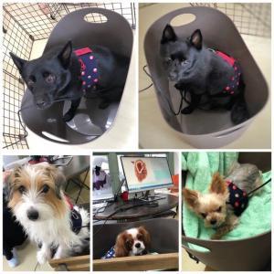 新入犬のウェルシュコーギーペンブロークの【麦ちゃん】 犬のしつけ教室@アロハドギー