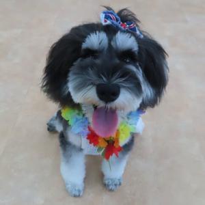 新入犬のミニチュアシュナウザーの【ラーダちゃん】  犬のしつけ教室@アロハドギー