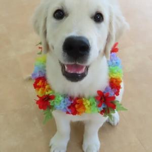 新入犬のゴールデンレトリバーの【ナナちゃん】  犬のしつけ教室@アロハドギー