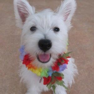 新入犬のウエストハイランドホワイトテリアの【木の葉ちゃん】 犬のしつけ教室@アロハドギー