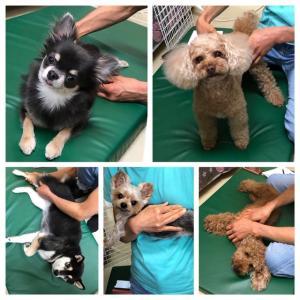 明日の【ALOHA塾】は、子犬のための【パピーパーティー】  犬のしつけ教室@アロハドギー