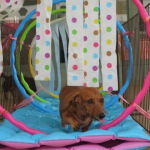 9月8日の【ALOHA塾】は、子犬のための【パピーパーティー】  犬のしつけ教室@アロハドギー