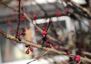 春を待つ梅の木