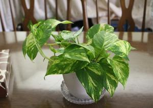 斑入り植物