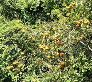 果物の秋 柿 色づく