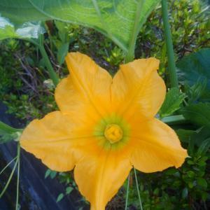 ジャンボカボチャの花