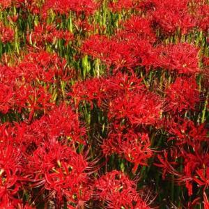 真っ赤に色づくヒガンバナ