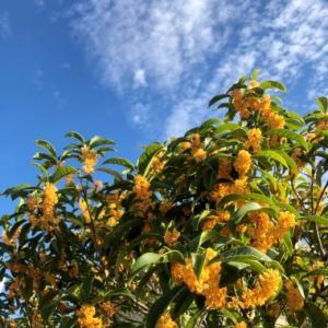 秋の香りをとじこめた!! ~キンモクセイのモイストポプリ