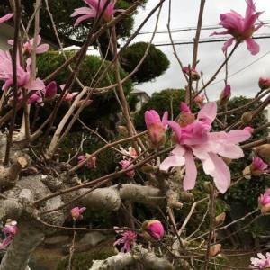 こぶしの花の季節に〜
