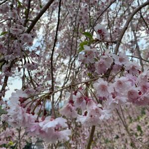 ベロニカの開花