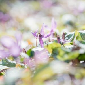 今年は全体的に花の開花も早い?金沢市平栗のカタクリの花も見頃です。