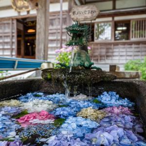 金沢のあじさい寺・本興寺さんが見頃です【今年は水紫陽花もあります】
